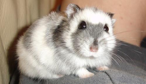 Russian Dwarf Hamsters Vs Chinese Dwarf Hamsters